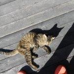 Image for the Tweet beginning: #ARCHAIQUE #アルカイック #ニャンコ #猫 ま、またかよ… 先日の子より、かなり大きくなってます。 2~3ヶ月くらいでしょうか? もうすっかり慣れてますので、このまま飼い猫化が出来そうです。 ただ、現在ケージを貸し出し中で、お外&店内ウロウロです… なのでどっか行ってしまうかも…
