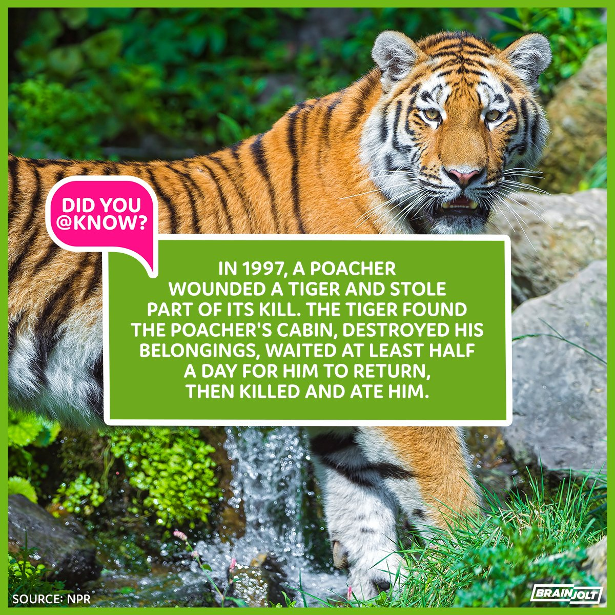 Did you know about #tigers? More about tigers: https://t.co/D6MplrLblb https://t.co/jqd4ozaXbf