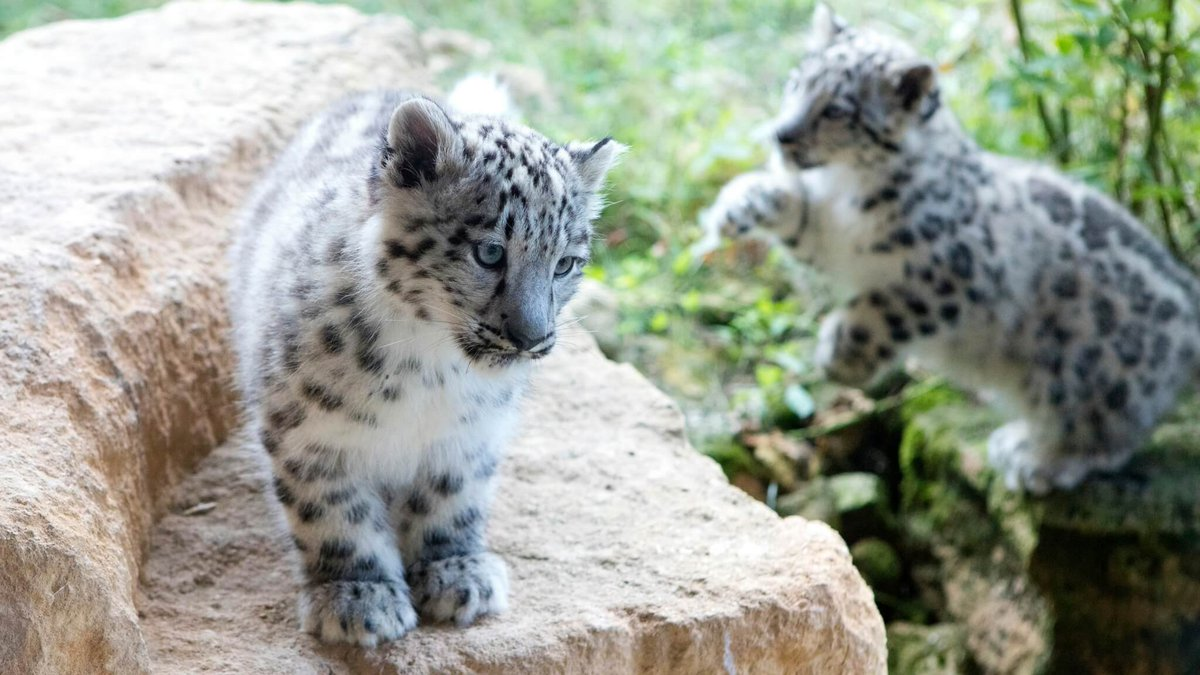 Are you looking for a date night with a difference? How about a little fine dining overlooking the Snow Leopards at @TwycrossZoo?  ➡️ https://t.co/Qlr1klkXQk  #leicester #leicestershire #leicesterevents https://t.co/Qs0Mwg31HN