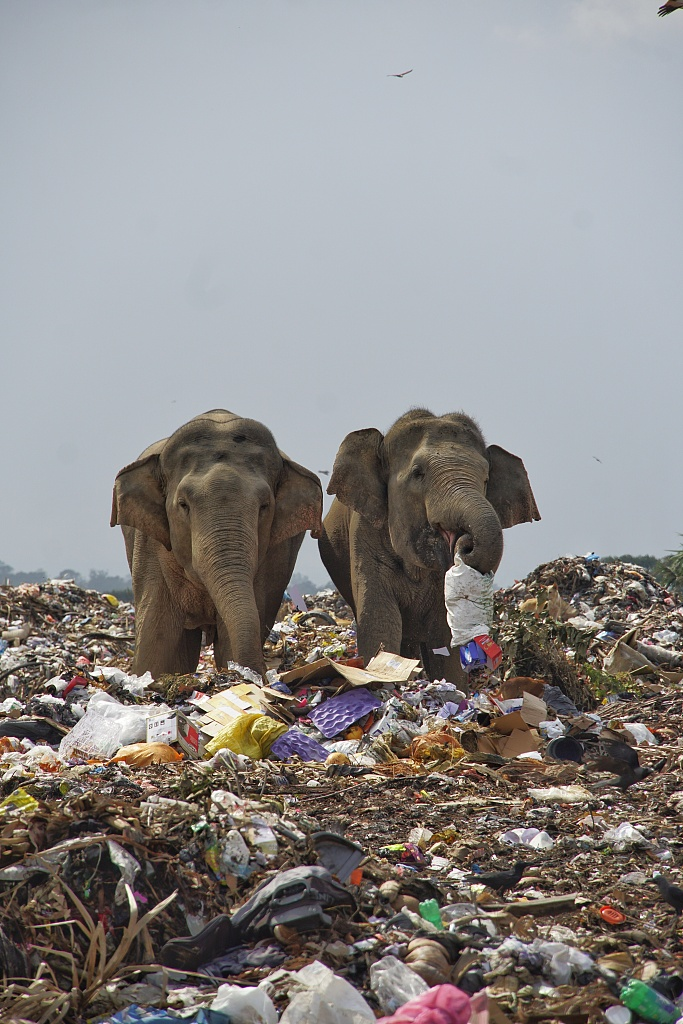Heartbreaking images taken recently show a herd of #elephants foraging for food in the middle of a trash dump in Sri Lanka. #ICYMI https://t.co/9EdXO3LjQB