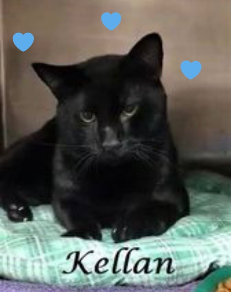 🆘CODE RED🆘 Gentle, loving, very affectionate KELLAN needs #IMMEDIATE #RESCUE‼️ PLEASE #RT #PLEDGE #FOSTER #ADOPT - everything you can do to #HELP✔️ #cats #Marietta #CobbCounty #GA RT@BrendaPerrott https://t.co/pm4yaXjCWr https://t.co/I2VIXGxqjd