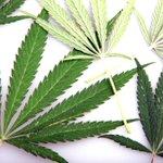 Image for the Tweet beginning: #cannabis #marijuana #weed Rutgers Experts