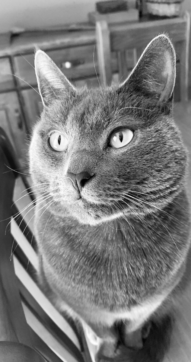Silvery, shiny, whiskery head ... 🖤🤍 #cats #catsoftwitter #meow https://t.co/M8TIXgLMEW