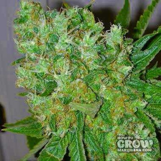 Big Buddha Blue Cheese feminized marijuana is Indica dominant and the plant forms a classic Indica shape, being dense and squat and heavily laden with mightily resinous buds.   #GrowYourOwn #CannabisFacts https://t.co/tpmhNja6nO