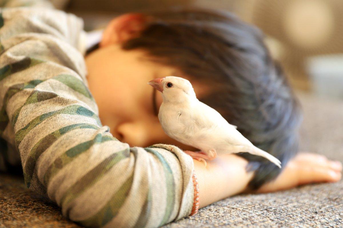 遊ぶのが大好きな文鳥。六歳の息子もとても可愛がってくれていて、二人きりで遊ぶことも多いです。遊び疲れてソファーで眠る息子の上に乗って、もっと遊んでほしい様子。まるで兄弟が増えたみたい。