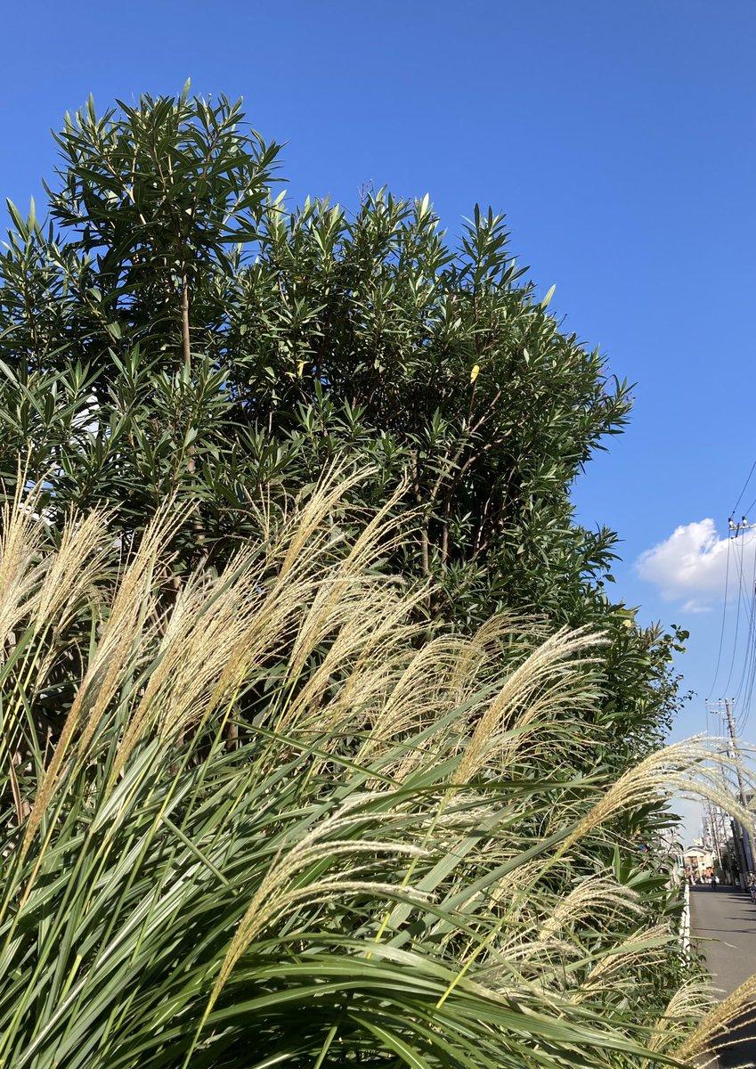 昨日、吉祥寺へ行く途中の ススキと、カフェからの風景。 青空や白い雲を見られた時は 疲れた心が少しスッキリする。 #風景 #カフェ #武蔵野 https://t.co/BWuwq2fOUf