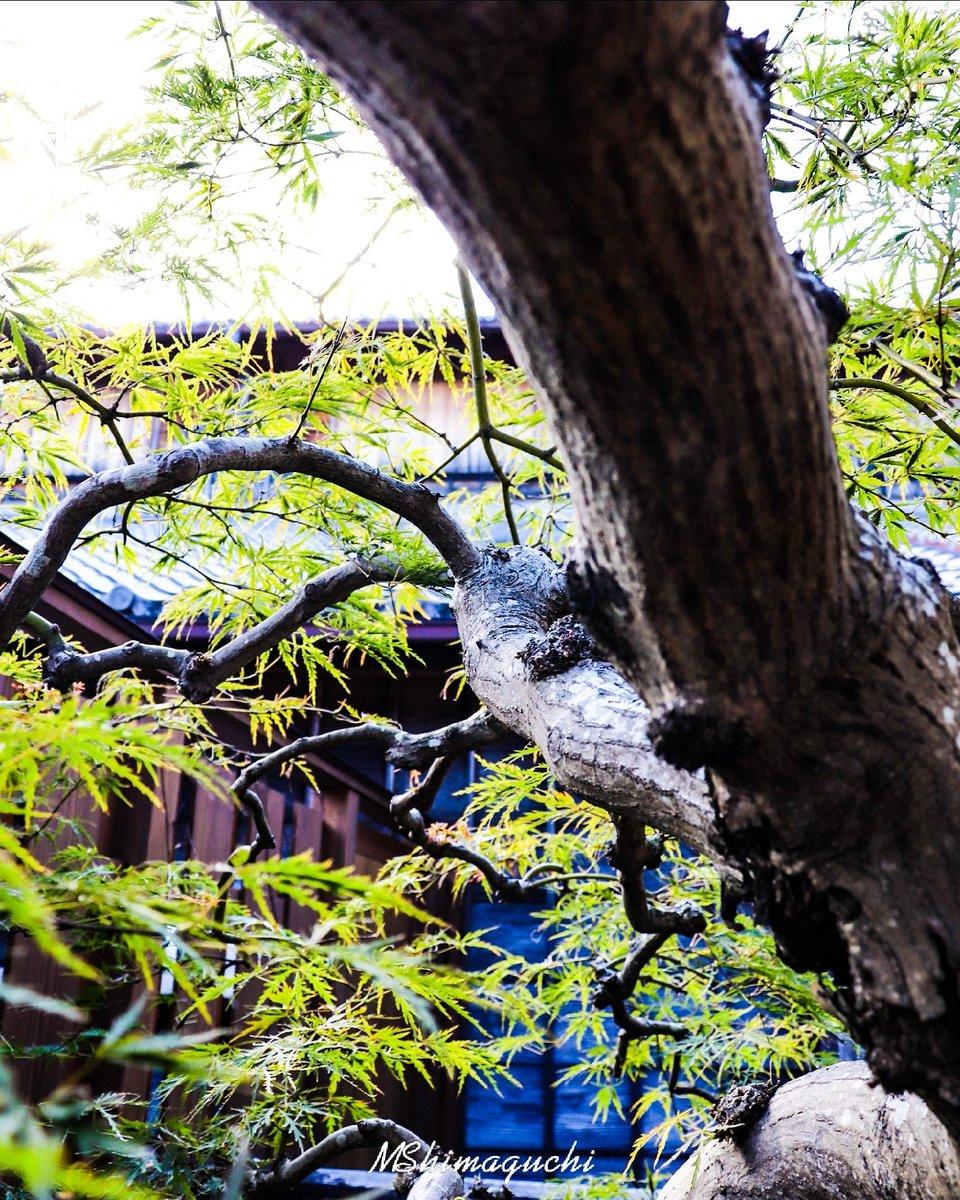 カエデは葉の形がカエルの手「蝦手」に似ていることから略してカエデ。  Location:三重 Date:2020.10 Camera:Canon  #楓 #カエデ #木 #緑 #風景 #神話の館 #treecollection  #自己満同盟 #写真好きな人と繋がりたい #ファインダー越しの私の世界 https://t.co/FXVVxPd8gq