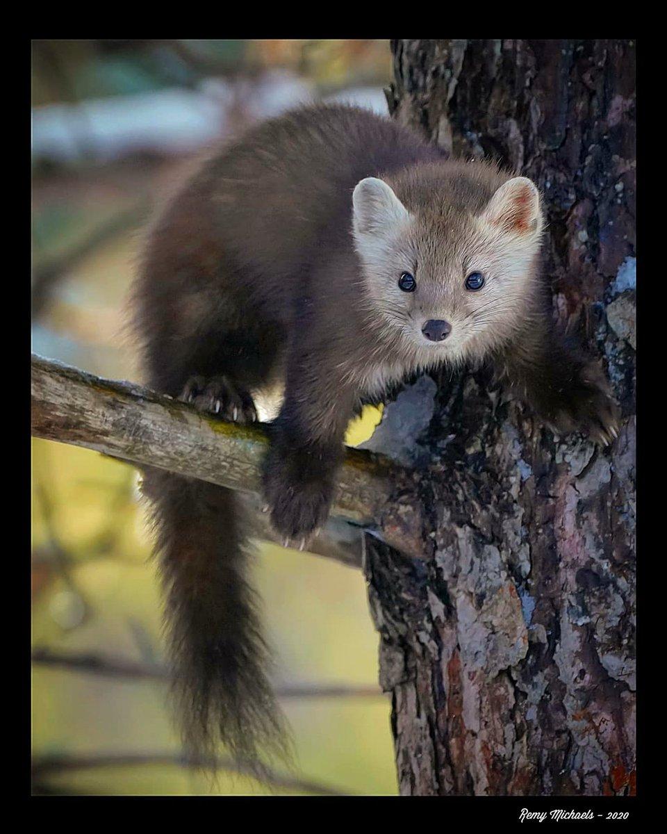 """NORTHERN FRIENDS"" https://t.co/LmUa7XCwGv #CanadianGeographic #NationalGeographic #AlgonquinPark #Wilderness #PineMarten #Predator #Wildlife #OntarioParks #PicOfTheDay #Travel #Nature #Muskoka #Huntsville #Gravenhurst #Photography #Art #Earth 🌎☀️😎🙏✌️👍🌲🌲🍁🍁📸🐾🐾♥️🏆🇨🇦 https://t.co/03DnDplJav"