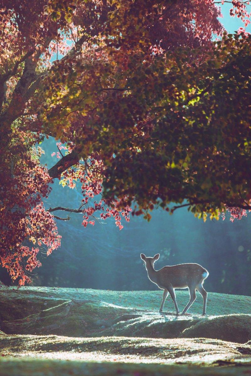 今朝の奈良公園。日毎に美しくなっていく。