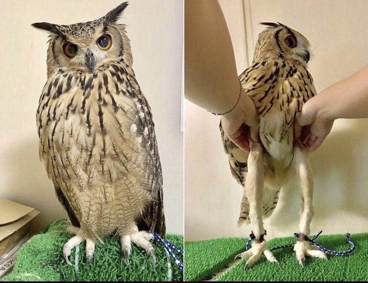 Owls have long legs! #podcast #podbreed #podnation #podernfamily https://t.co/eBfgPw2etH