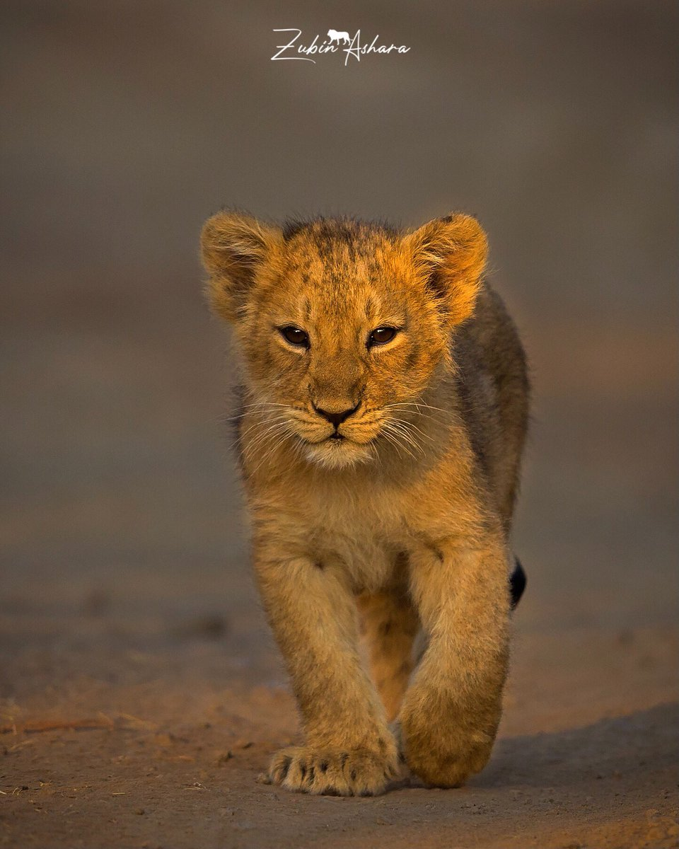 Thank you @zubinashara for sharing such an adorable picture of Asiatic Lion Cub from Sasan Gir, Gujarat!  #DekhoApnaDesh  @GujaratTourism
