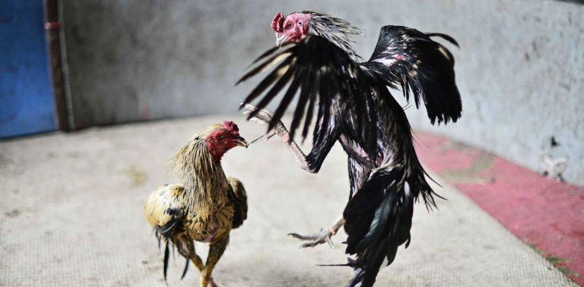 The Secrets Of Chicken Flocks Pecking Order