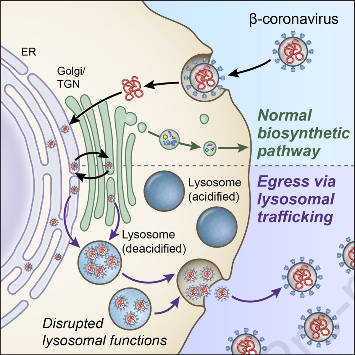 """Add to the """"then what? Eggression via lysosomes (β-coronaviruses, which is unconventional) https://t.co/wDkT3Zj80n @CellCellPress https://t.co/CRWqbPnsHg"""