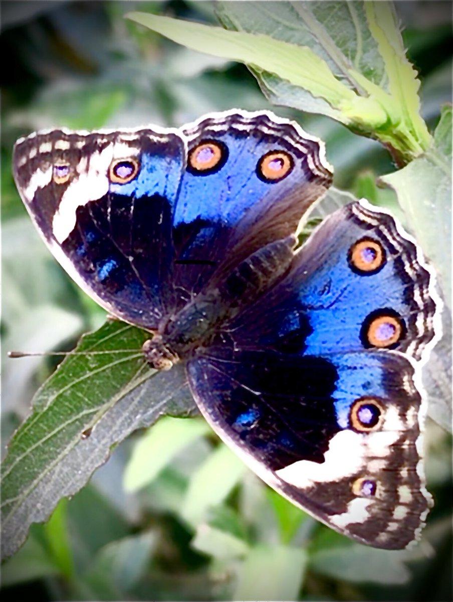 A Blue Pansy #Butterfly outside my garden #UAE #dubai https://t.co/VvO4Pdq0eK
