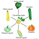 You know how most modern dog breeds are the same species of wolf? And how we turned Brassica oleracea into cabbage, broccoli, cauliflower, kale & Brussels sprouts?  Well, pumpkin, zucchini, delicata, acorn, pattypan & yellow squash are all the same species too: Cucurbita pepo