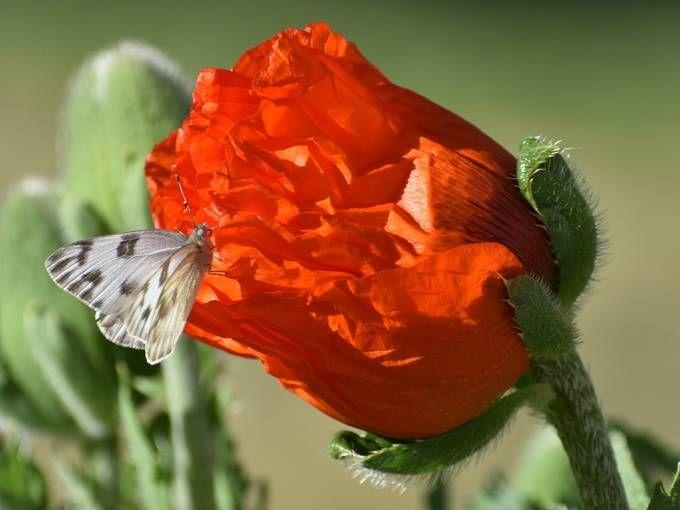 Enticing Colors @viewbug https://t.co/4QjzPXrhxU #Photography #Nature #NaturePhotos #NaturePhotography #Butterfly #Butterflies #Photo #Fotografia #写真撮影 #фотография #red #poppies #poppy https://t.co/0QKeswPCe4