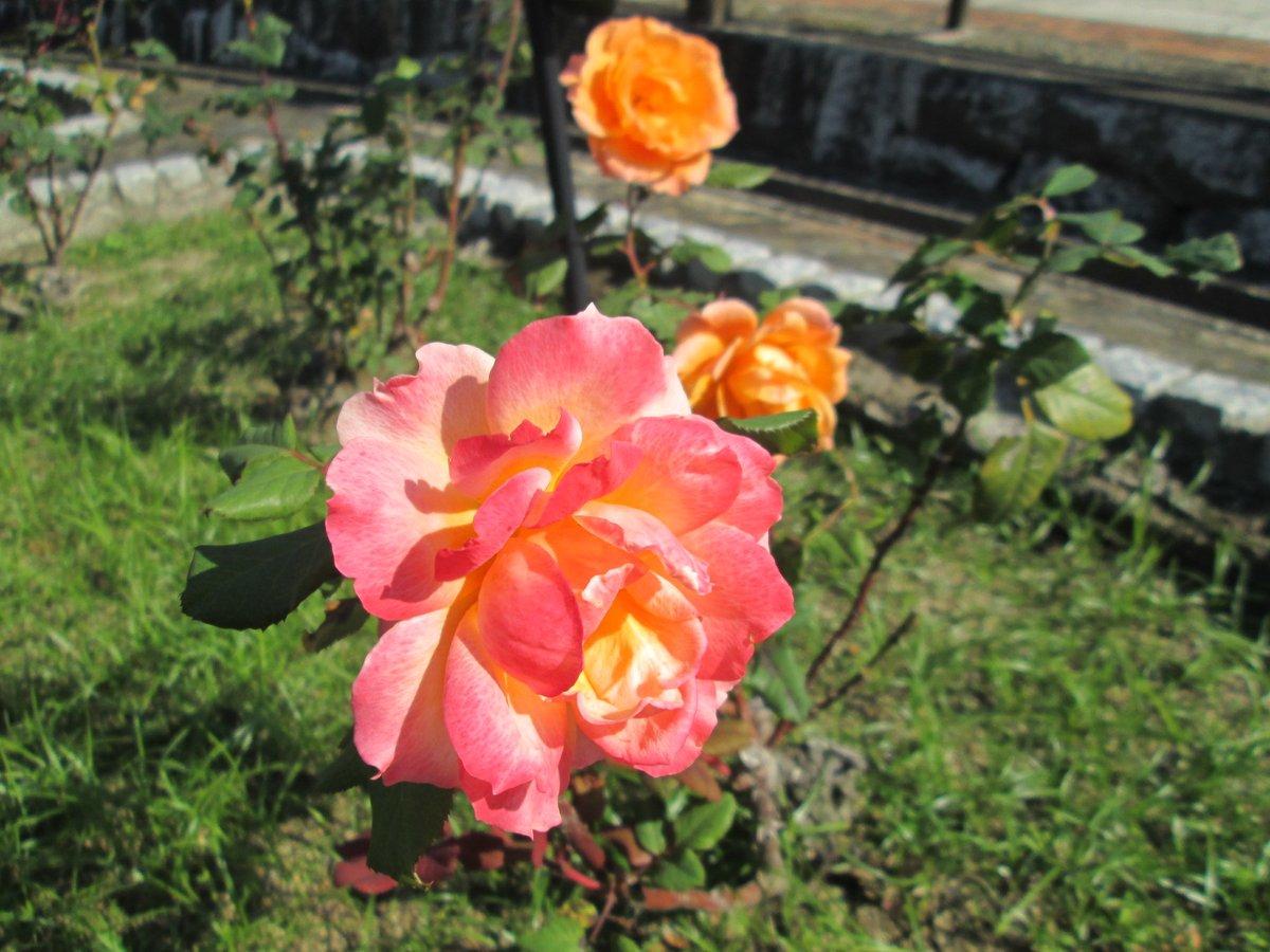 『オレンジ色のバラ』  #TLを花でいっぱいにしよう https://t.co/fAibdDJP1y