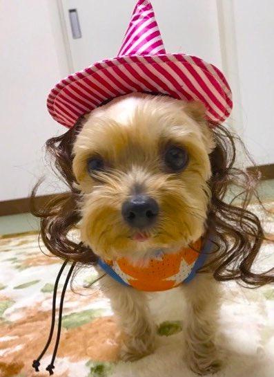 お茶目な💕ヨーキーバロンくん!今年はおうちでハロウィン🎃アメブロを投稿したワン‼️🐶『そろそろ!あの季節♡』#犬好きさんとつながりたい#ヨークシャーテリア🔻アメブロはこちら↓🐶🐾