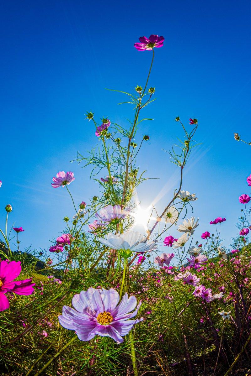コスモスの里 穂谷にて。 (その2)  太陽と月。  ●使用機材 ・K-70 ・smc PENTAX-DA FISH-EYE10-17mm  #コスモス #秋桜 #スナップ写真 #風景写真 #写真撮ってる人と繋がりたい #写真好きな人と繋がりたい #ファインダー越しの私の世界 #キリトリセカイ #PENTAX #ペンタックス https://t.co/hbPw7waBBl