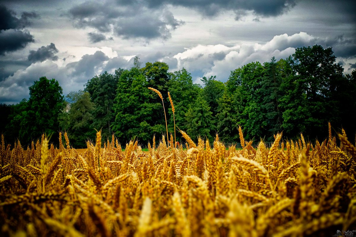 Two Suspected Of Doping  #Suspected #Doping #Wheat #field #Rural #Landscape #WheatField #farm #Morillon #Schönegg #Bern #Switzerland #RX100M3 #RX100III #lewelsch #lewelsch_photo #swissphotographers https://t.co/Oze3EmqMgv