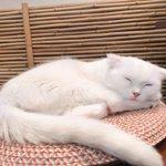 Image for the Tweet beginning: 🎂Happy birthday🎂 2020.10.28 Mochiko Saku🐱💓 本日、4歳のお誕生日を迎えました💝 #猫カフェ心猫 #心猫