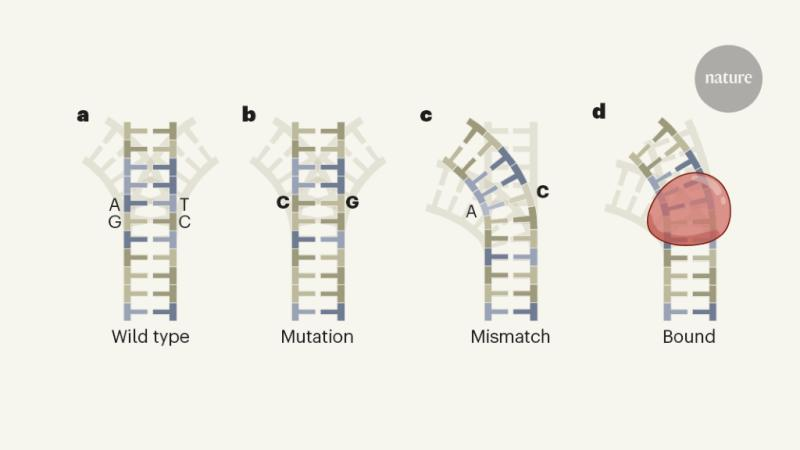 #research shows that mismatches can bend DNA into favourable conformations for binding by proteins. making contribution to the formation of genetic mutations in the cell https://t.co/S5RG5LtLue #Genetics #Bioinformatics #bioengineering https://t.co/RLCDfqbDR0