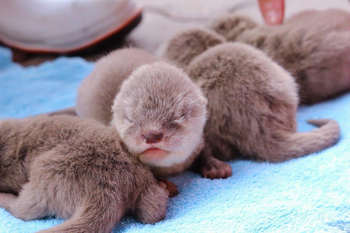 2020年10月28日(水)今日は桂浜水族館で生まれたコツメカワウソベイビーズの生後1ヶ月記念日です!すでに両目が開いてる子もいれば、まだ開いてない子もいるけれど、みんな元気に成長しています。一般公開は年末年始を予定しているので、まだしばらくツイッターでそっと見守ってあげてください。
