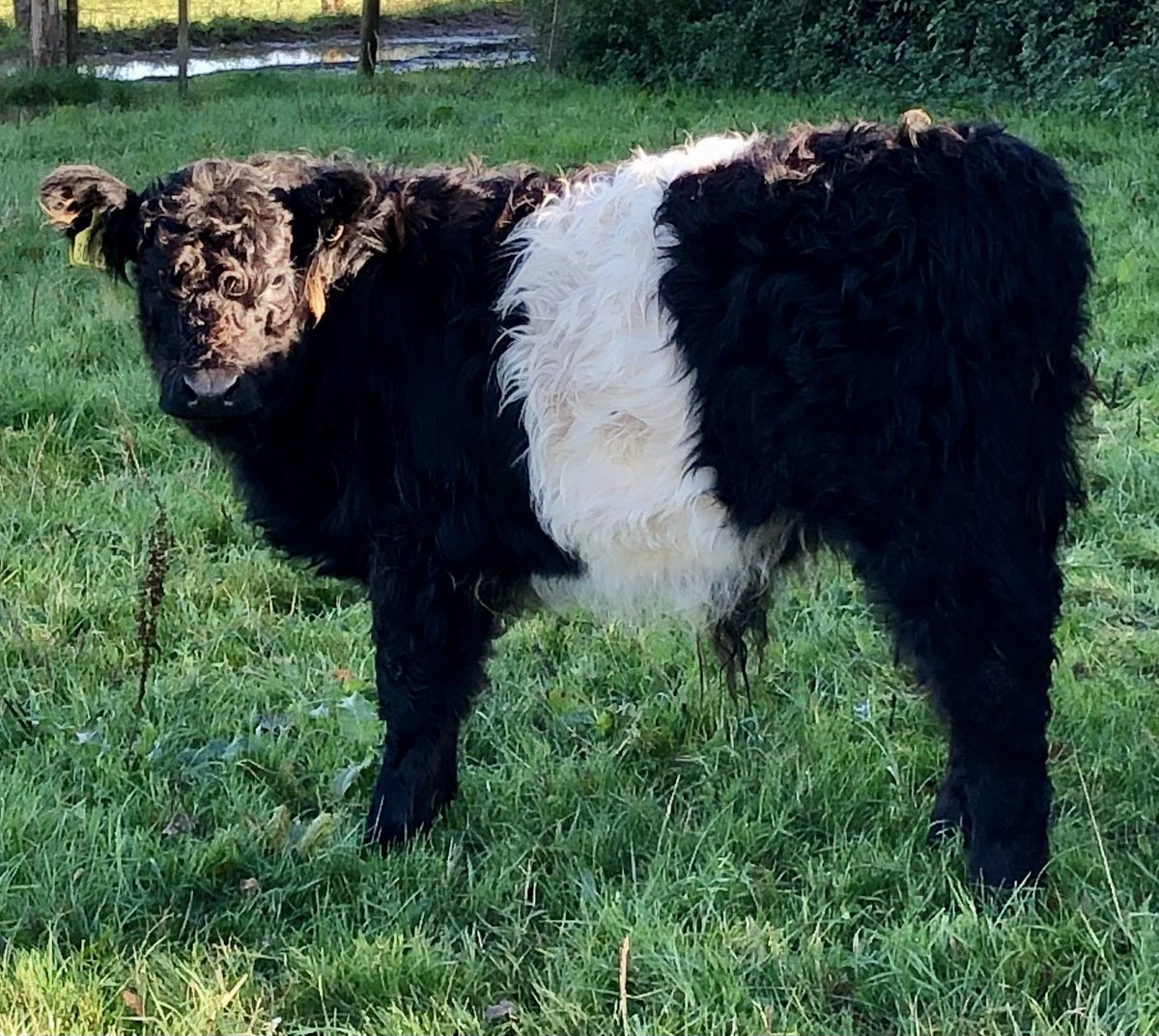What shall we call this little #Beltie bull? Poll below in next tweet ⤵️