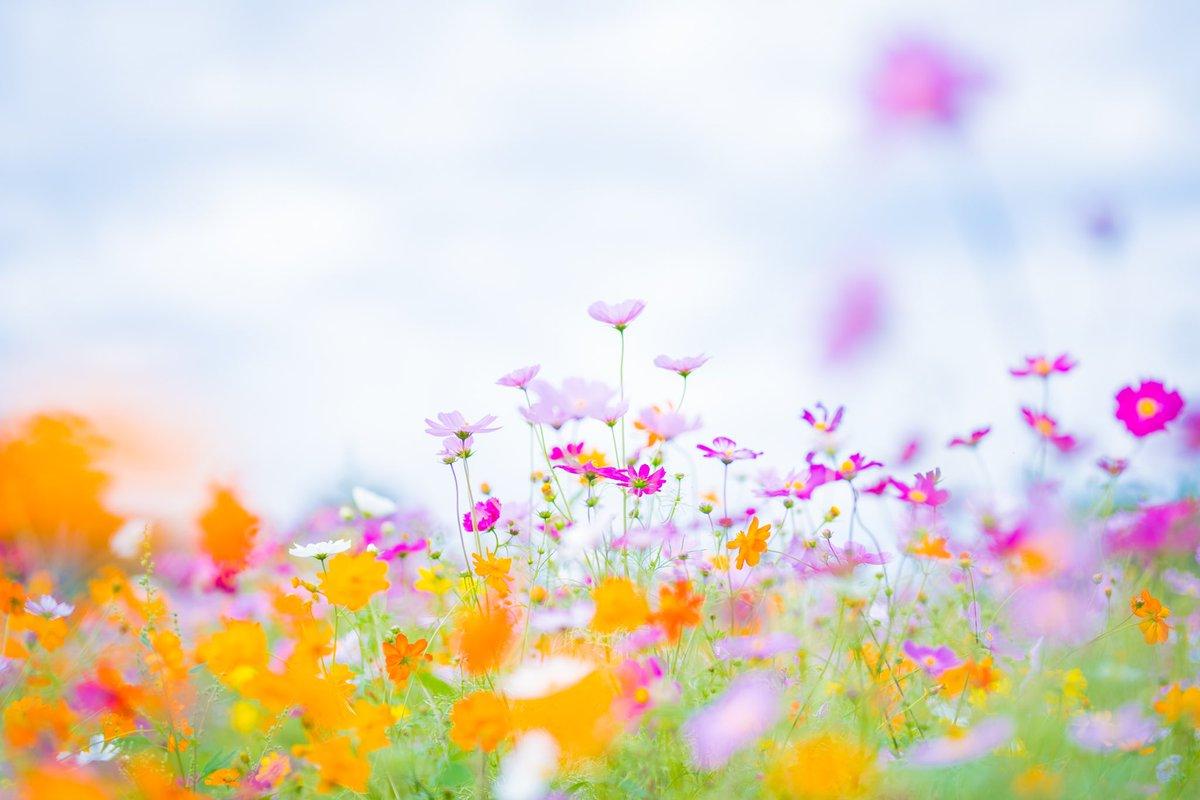 おつかれさまでした♪ コスモスの可愛さに癒されます(*´ω`*).。.:*☆  #花 #風景 #自然 #秋桜 #コスモス #キリトリセカイ  #カメラ好きな人と繋がりたい  #写真好きな人と繋がりたい   #写真を撮ってる人と繋がりたい  #ファインダー越しの私の世界 https://t.co/hA6y884dNe