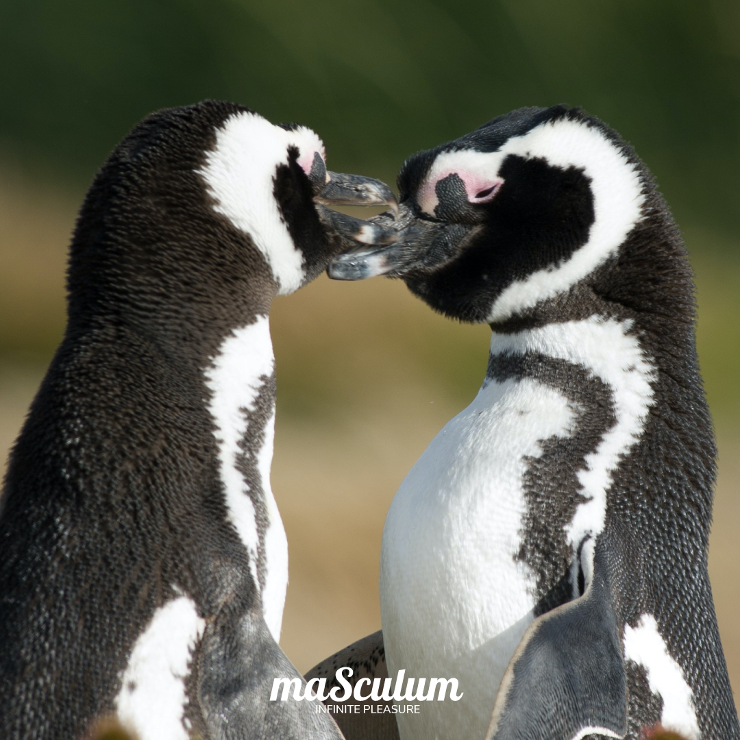 Never apologize for who you love.  Meeting you was faith, becoming your friend was a choice, but falling in love with you was our destiny.  Who do you #love? #Tag him/she/her and let them know!  #loveislove #gay #animals #penguins #cute #kiss #masculum #infinitepleasure https://t.co/VgtImEGJbw