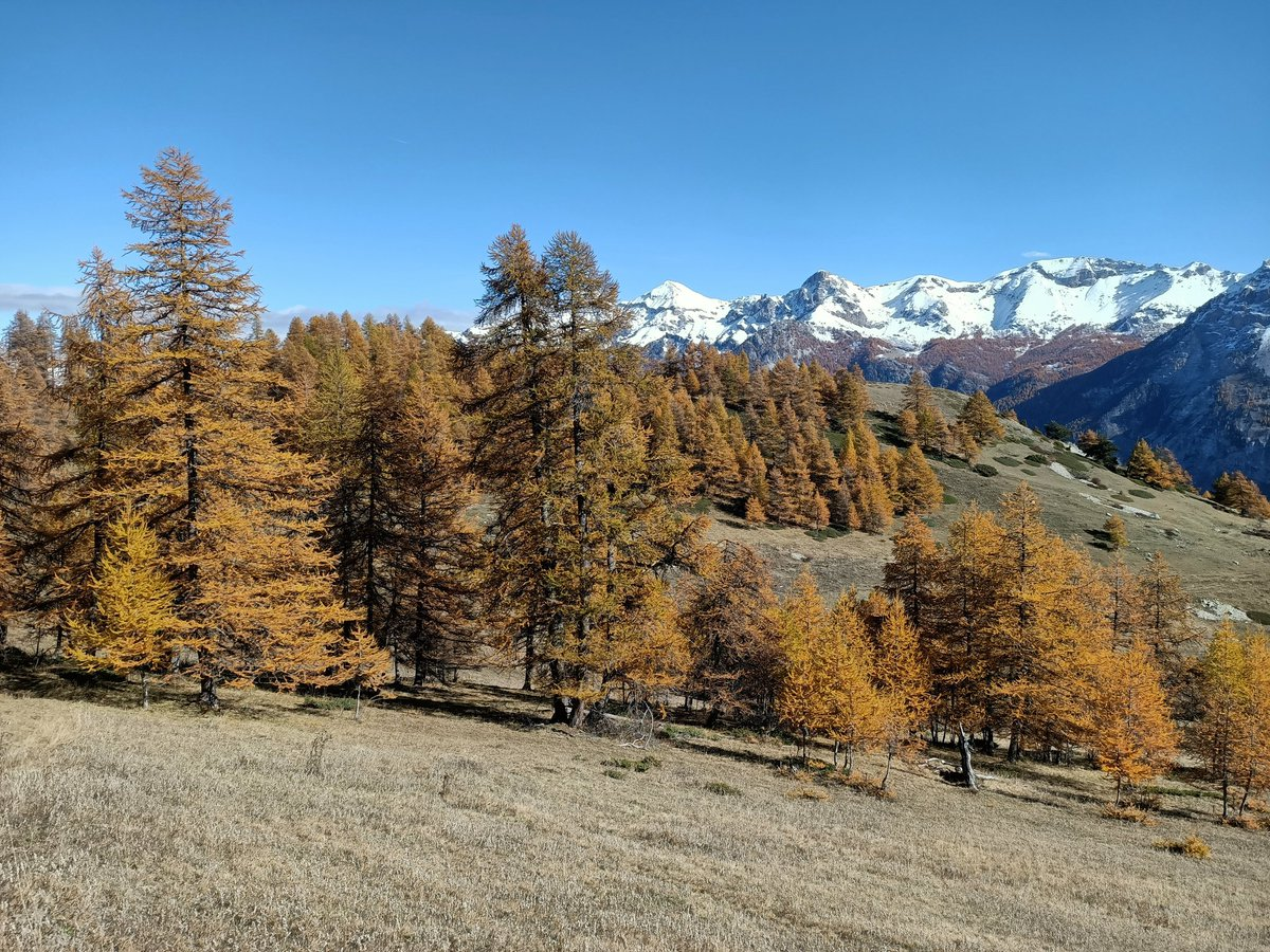 🔥❄️ Entre 1900 et 2000m daltitude dans les #HautesAlpes... Les mélèzes ont retrouvé leurs habits d#automne après un bref intermède hivernal à cette altitude.
