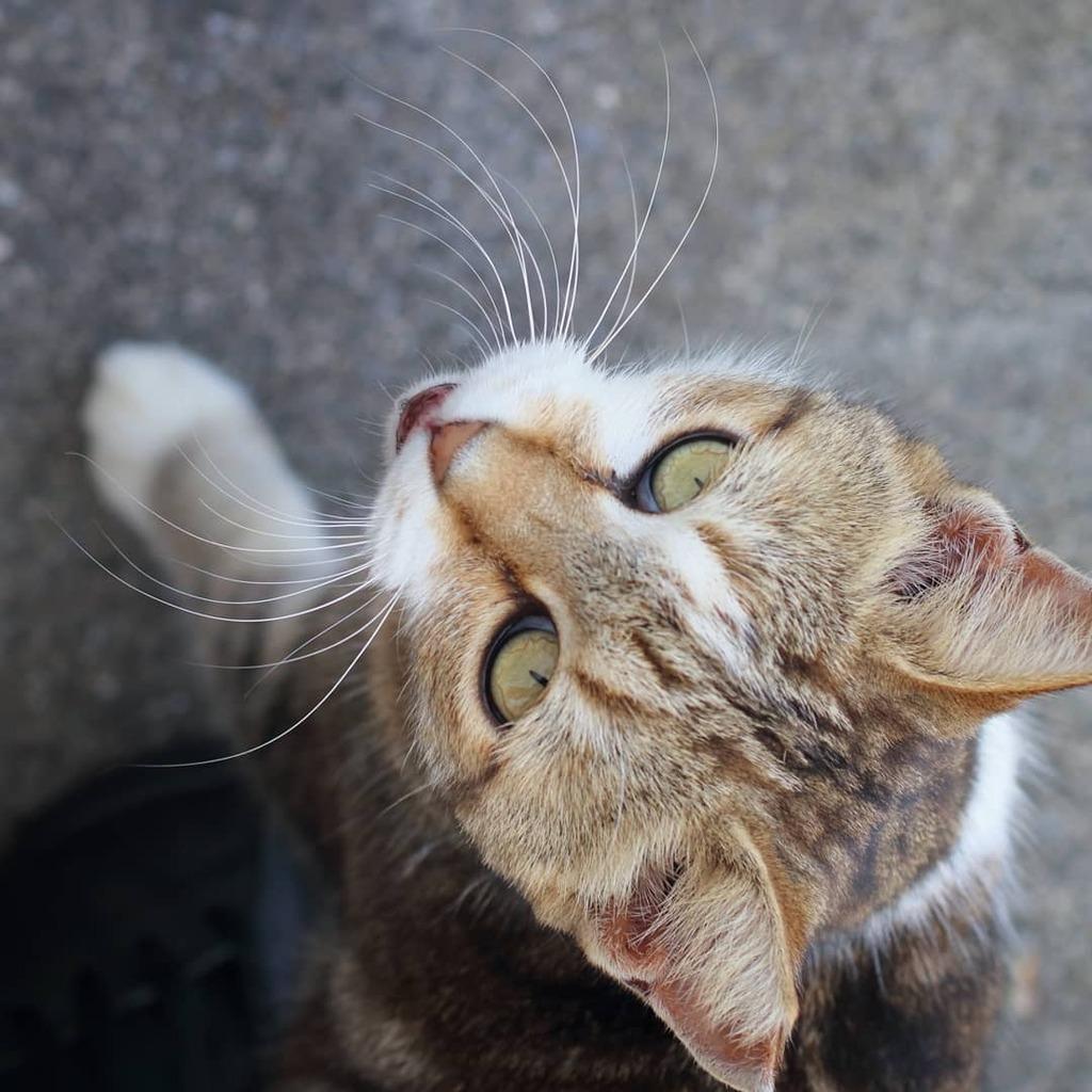 おねだりするねこ Begging Cat #cat #catstagram #catoftheday #catslife #japan #okinawa #沖縄県 #canon #eos #80d #my_eos_photo #ねこ #猫のくらし #gato #gatto #portrait #tyga #トラ #고양이 #chat #katze https://t.co/RSjiZwx4eg https://t.co/yUYnyYBviY