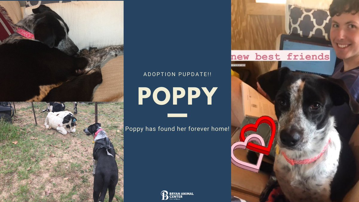 Pupdate alert!  Poppy is doing great in her new home. She is enjoying all her cuddle time and making friends with the cows. #Adopted #Foreverhome #Allsmiles #Makingnewfriends #Napbuddy #BryanAnimalCenter #bestfriends