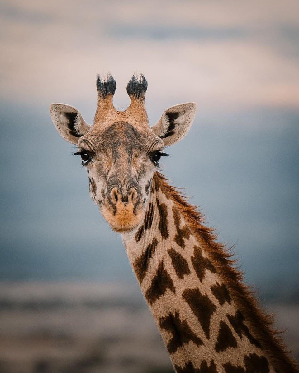 #pictureoftheday the Giraffe in Serengeti https://t.co/Gx3RSUJL6J