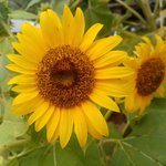 Image for the Tweet beginning: Happy morning everyone #SUNFLOWER #thursdaymorning #happy