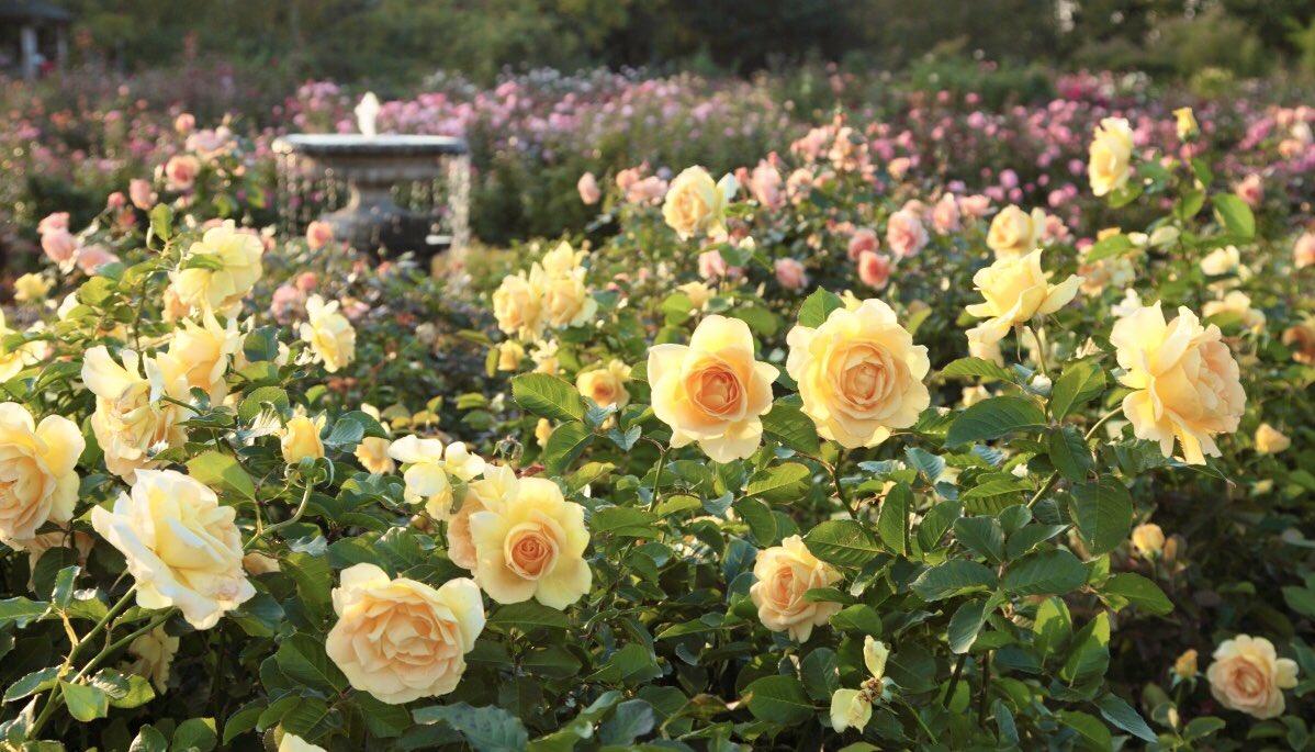RT @keisei_rose: #京成バラ園 #アンコールブルーム  本日13:40頃 #nhkgtv #ごごナマ...