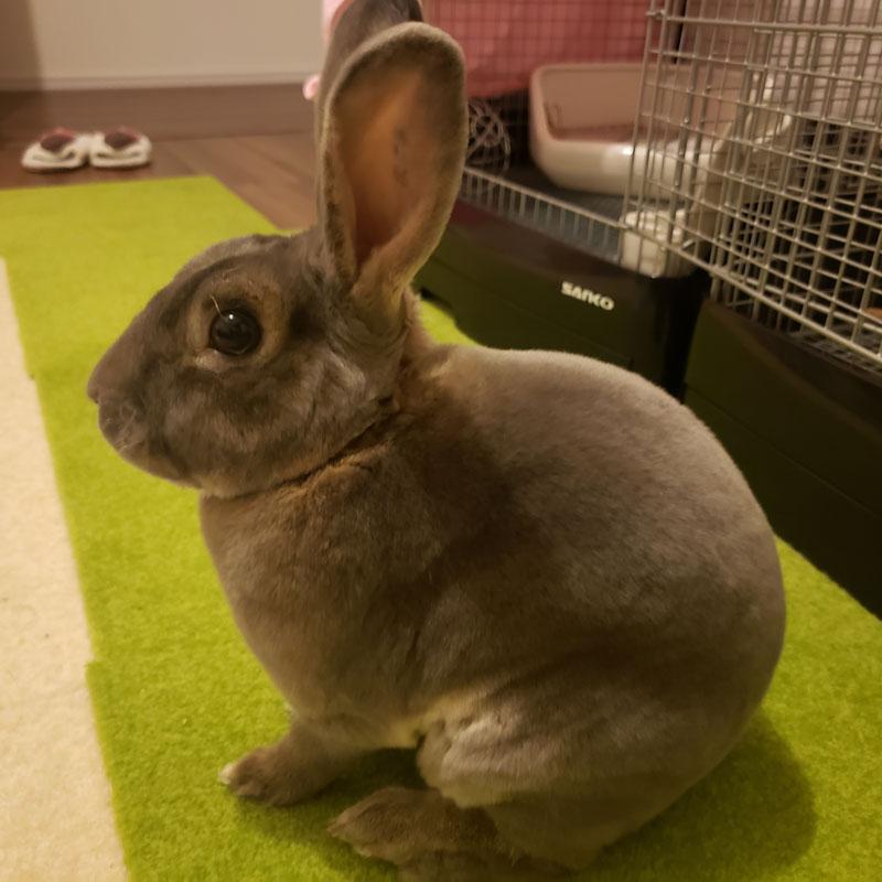 [うさぎラブWe love bunny] うーりくん「自慢ポイントはビロードのような毛並み」#うさぎ #bunny #usagi #pet #rabbit https://t.co/v3gsQSCFHJ https://t.co/DlpOnlxMrJ