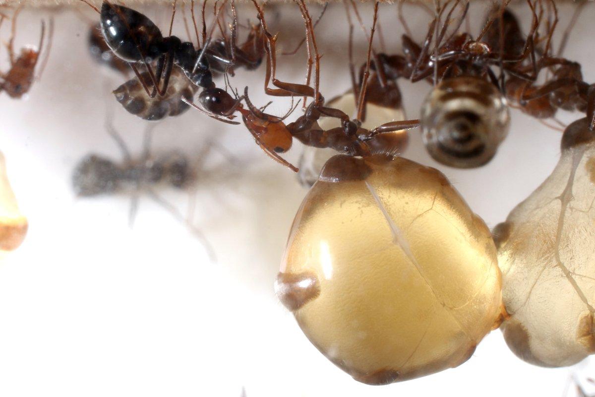 久々の登場ミツツボアリです。ずいぶん久々の登場の気がして過去のブログを見てみましたが、ちゃんと撮影したのは2年前の昆虫大学ぶりでした。2016年から飼育をしているので、気が付けば4年が経ちました。働きアリも大量で現在蟻マシーン2号ミニを6台連結して飼育中です。