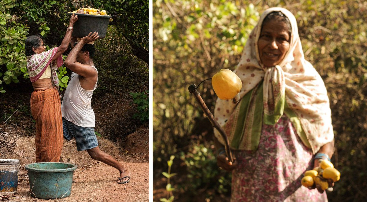 (Photo thread)  In villages across Goa, the juice of the cashew apple is distilled to produce feni, which now has its own Geographical Indication. At their small family-run distillery in North Goa, Inacina and Luis Fernandes practice an art handed down to them across generations https://t.co/GeF5g4TWLN