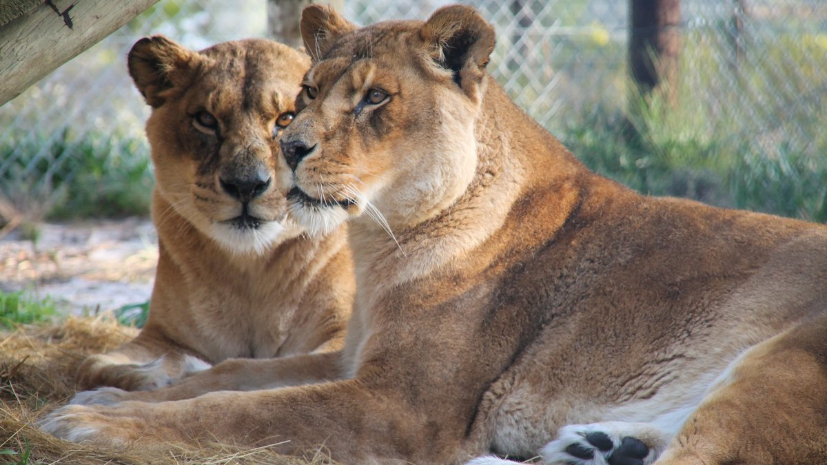 We are so happy to see the two lionesses Alpha and Cora settled in their forever home at the Panthera Africa Big Cat Sanctuary, which was facilitated and built thanks to the partnership between British Airways Holidays and @BornFreeFDN. Visit https://t.co/kOXF7LBhdG. https://t.co/elgzIikqvB