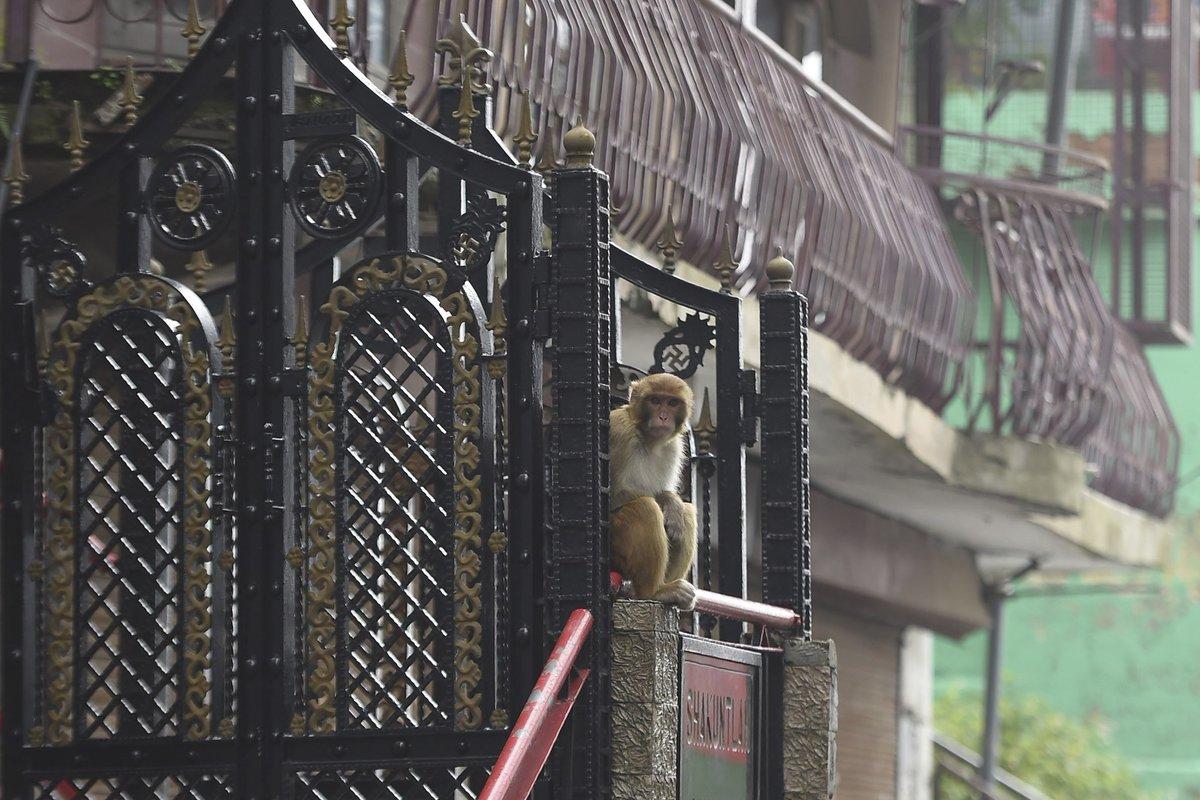 Tremendo... Miles de monos atacan a transeúntes en una ciudad turística de la India. Miles de monos mantienen bajo férreo acoso a Shimla, la antigua capital de verano de la época colonial británica en el norte de la India: web.facebook.com/Radiocuervouru…