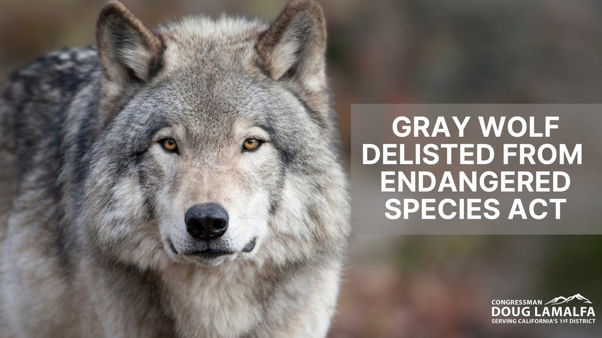 Gray wolf populations have exceeded recovery expectations for years, and three Administrations have tried to delist the gray wolf from the Endangered Species Act.   @realDonaldTrump and @SecBernhardt finally got it done.