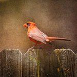 Image for the Tweet beginning: Male Cardinal!  #bird #red