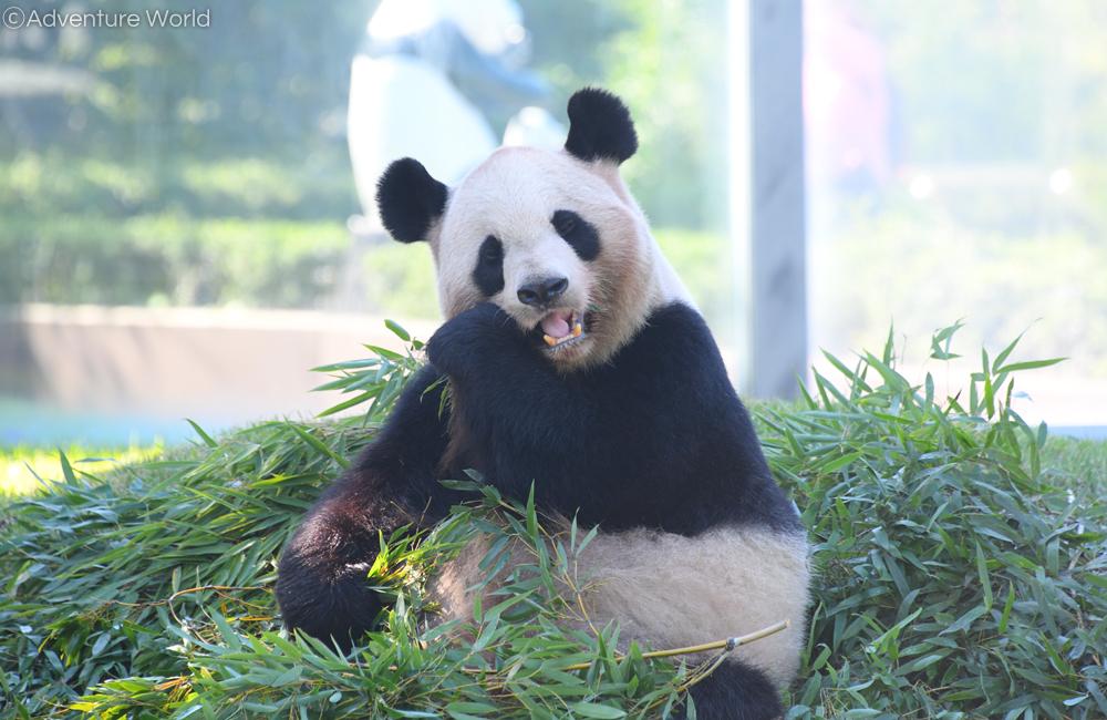 10月25日より #ジャイアントパンダ 「良浜(らうひん)」に竹の摂餌量減少や睡眠時間の増加等の妊娠の兆候が見られましたので、出産に備え本日10月30日より公開を休止いたします。 どうぞ温かく見守っていただきますようお願い申し上げます。詳しくは #アドベンチャーワールド