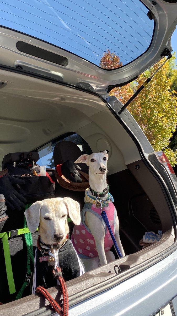 🐾☀️🌻🌻 🆙20201030▶️ _ #beagle / #italiangreyhound #scenthound #whippet #sighthound #dog #photo #art #dogs #doglove #doglovers #doggy #picpets #photography https://t.co/0IyChfkPxv
