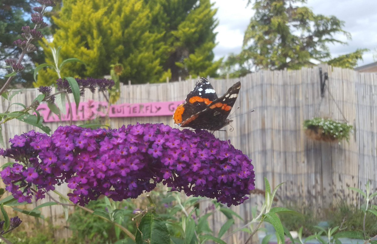 Have you seen a Red Admiral #Butterfly this #Autumn?  We usually spot them feeding from Ivy #Flowers this time of year. 🦋🌼 #ButterflyWhisperer  #butterflies #nature #NaturePhotography #garden #AutumnHope #fridayfun https://t.co/KwdFegXgVU