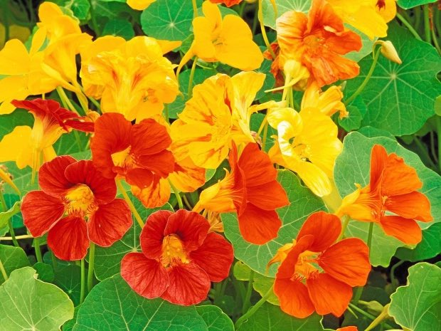 It is my strong headcanon belief that Mario fire flowers are based on this kind of edible flower called the Nasturtium