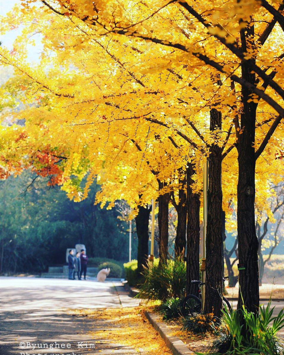 * 노랗게 노랗게   Yellow Ginkgo Leaves  가을 은행이 곱게 물들어 아름답습니다 . .  #ginkgo  #tree #leaves  #yellowish  #yellow #morning #peaceful  #beautiful #Autumn  #AutumnFoliage #colors #AutumnLeaves #photography #ig_shotz  #naturephotography  #landscapes  ©Byunghee Kim https://t.co/YgxyM9R0zB