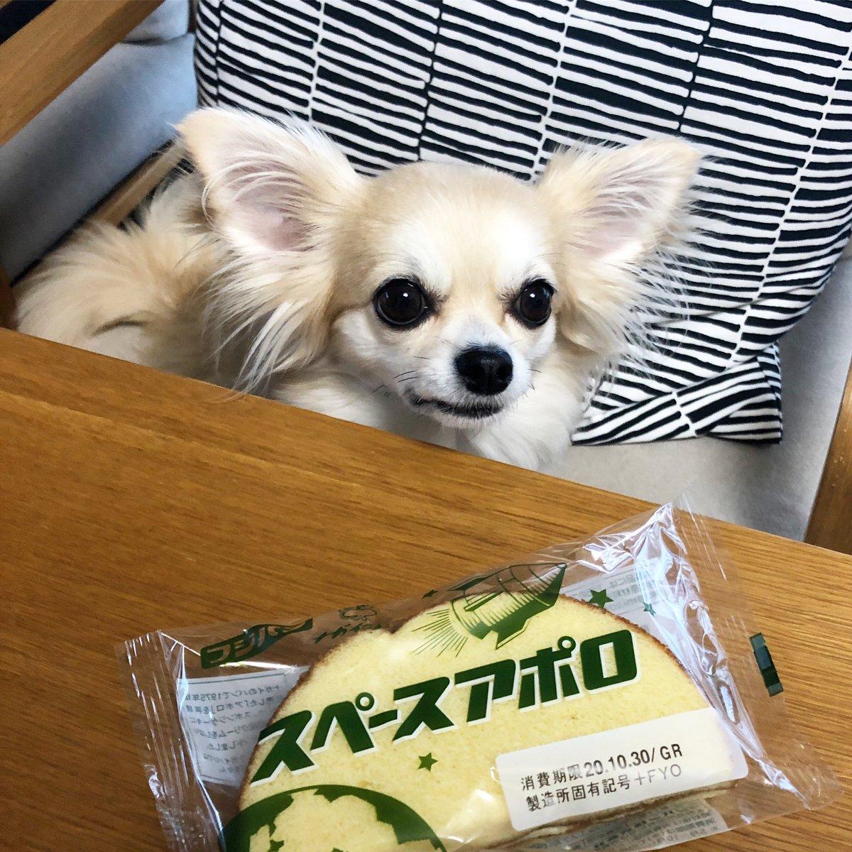 巷で話題の #スペースアポロ   おっと、賞味期限が今日までだ💦 食べてみよ〜😋  ロコはダメ、犬用おやつにしよ🦴  #愛犬 #チワワ #わんこ #犬のいる暮らし #犬のいる生活 #わんこのいる生活 #猫好きさんと繋がりたい #犬好きさんと繋がりたい #dog #chihuahua https://t.co/n7HT8M1zoB