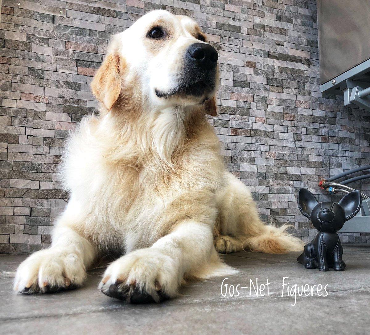 Ares, precioso #golden... más bueno no se puede ser, que regalo trabajar con animales♥️🐾✂️😍 #gosnetfigueres #belleza #mircat #equipazo #mascotas #diadelperro #partidopacma #spam #caninos #perros #figueres #empordà #bondia #gracies #gracias #costabravapirineu #net #mascotanet https://t.co/fH6jXPIi1B